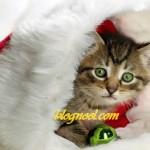 Petit chat de Noël  - Résolution: 1680×1010 pixels